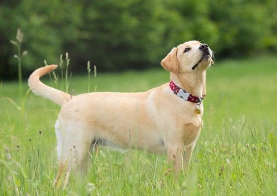 raças mais dóceis de cachorros