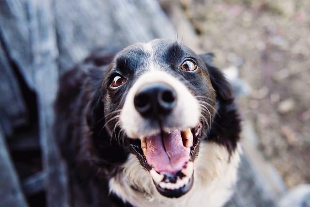 Vai arrumar um novo amigo? Conheça as raças mais dóceis de cachorros!