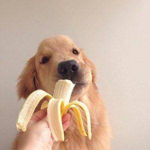 cachorro comendo banana