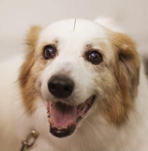 Acupuntura veterinária: Descubra seus benefícios