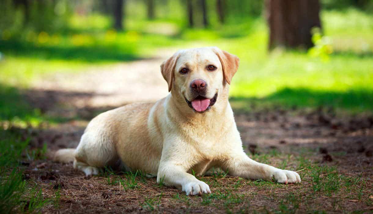 Fases da vida de um cachorro - cachorro adulto