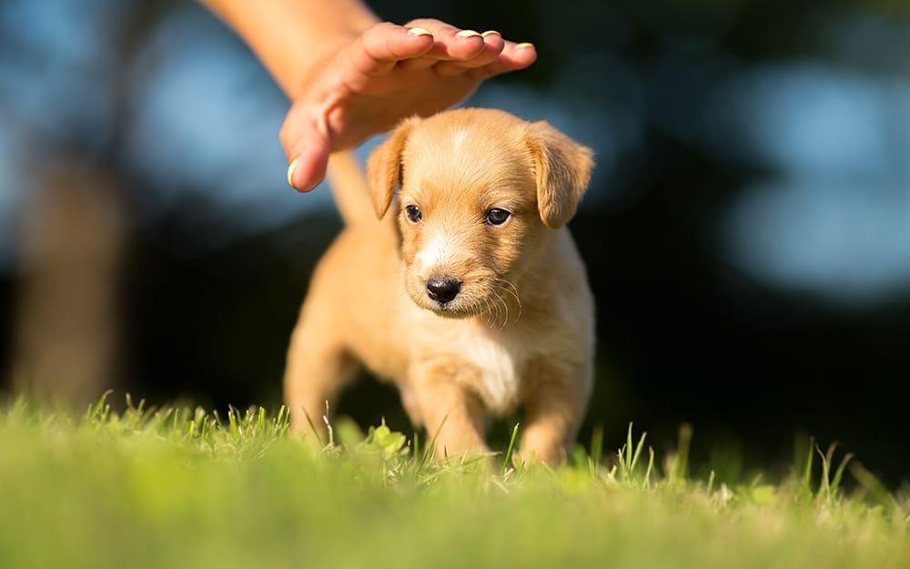 Fases da vida de um cachorro - cachorro filhote